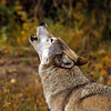 """Come let's mix where Rockefellers walk with sticks, Puttin on the Ritz.""  This wolf is singing his heart out surrounded by glorious fall foliage."