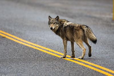 Solo Wolf II