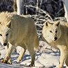 These two white wolves, walking on new fallen snow, seem to be a little cautious.