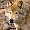 This large wolf is carefully patroling the area around the wooded mountain side where his pack is located.