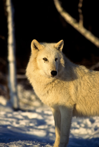 This incredible creature looks beautiful in a setting sun.  The weather is cold, there is a brisk wind and the adrenalin is flowing.  The snowfall seems to suit this wolf.