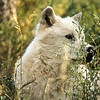 Ever watchful, this white wolf hears something in the forest and rises to look around.  The foliage is thick and the grass tall.  When the wolf lies down, she cannot be seen.