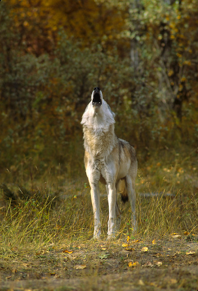 """Oh, give me land, lots of land, under starry skies above, Don't Fence Me In.""  Howling allows the pack to stay in contact when they might be spread out over a wide area of the forest.  The howling denotes home."