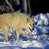 This white wolf is hunting as night falls.  He is joined by the pack as they all hasten across the snowy ground.