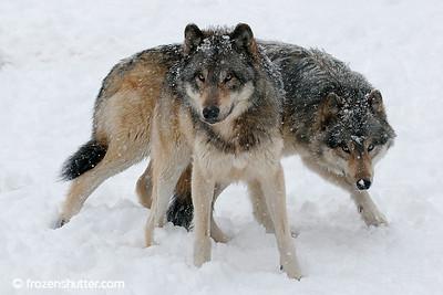 Snow Stalkings