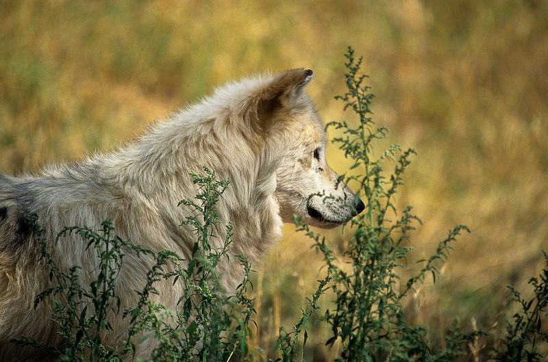For me to enjoy, a lovely, shaggy white wolf standing in afternoon sun.  She is almost enveloped by the tall grass surrounding her.