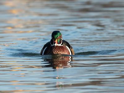 Wood Duck 29 Nov 2018-7831