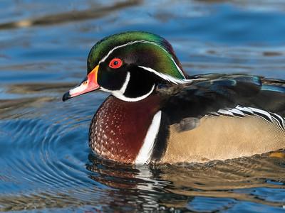 Wood Duck 29 Nov 2018-7957