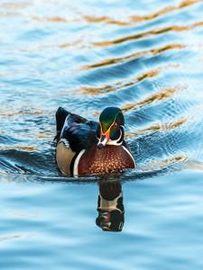 Wood Duck 29 Nov 2018-8014