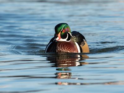 Wood Duck 29 Nov 2018-7841