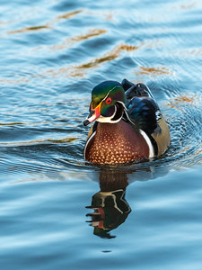 Wood Duck 29 Nov 2018-8021