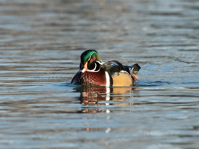 Wood Duck 29 Nov 2018-7826