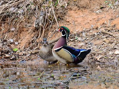 Wood Ducks 12 March 2016-3079