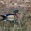 Wood Ducks 12 March 2016-3083