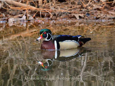 Wood Ducks 12 March 2016-3164