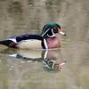 Wood Ducks 12 March 2016-3106