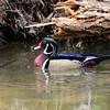 Wood Ducks 12 March 2016-2909