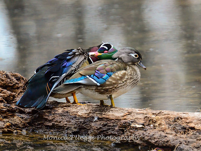 Wood Ducks 12 March 2016-2944