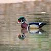 Wood Ducks 12 March 2016-2935
