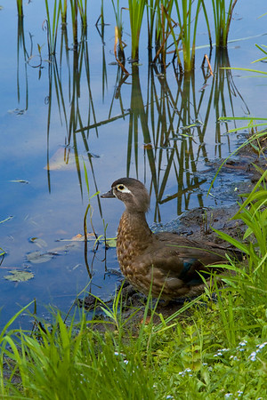 Wood ducks and more
