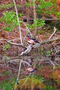 The reflection of a wood duck is visible in the waters of a small pond.