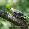 Woodpeckers 26 July 2018-2017
