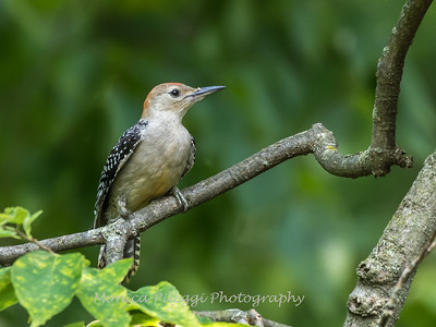 Woodpeckers 26 July 2018-2004