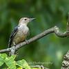 Woodpeckers 26 July 2018-2004