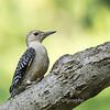 Woodpeckers 26 July 2018-2035
