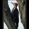 The Pileated Woodpecker<br /> 11x14