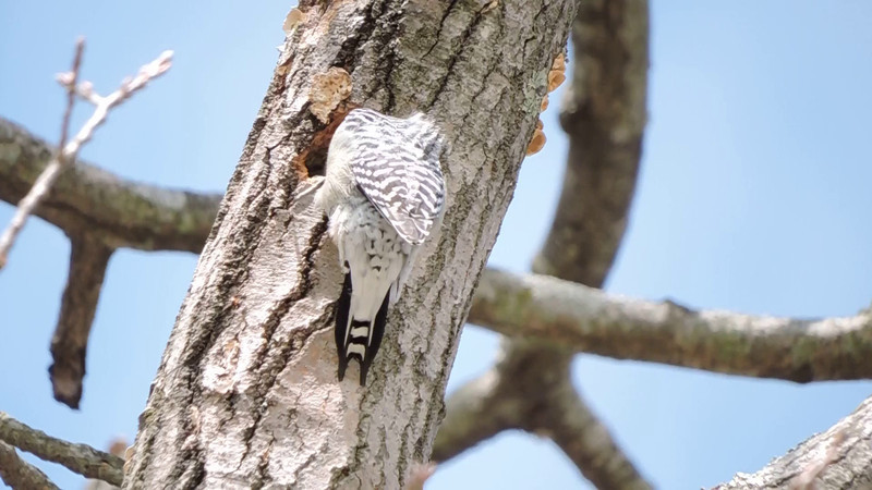 Video of a Red-bellied Woodpecker