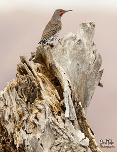Northern Flicker Red-shaft