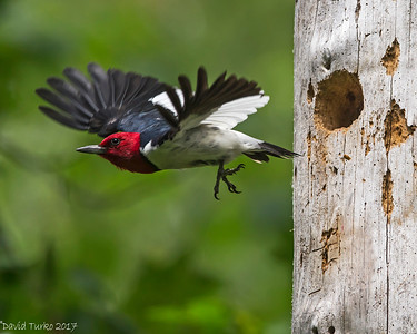 Red-headed Woodpeckers