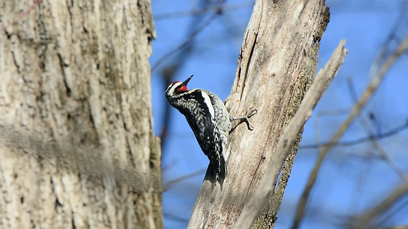 Video of a Yellow-bellied Sapsucker