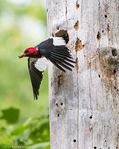 Red-headed Woodpecker in Flight