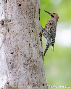 Northern Flicker - Red Shafted