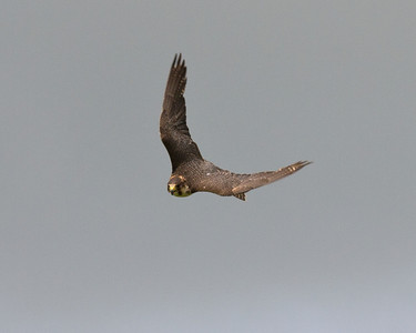The Peregrine Falcon - a stunning bird to watch in the dive, reaching speeds of 200mph and more! Hard to photograph!!