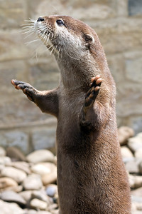 I have had a love and fascination with Otters since first meeting some as a small child. These Asian Short Claw Otters are great fun and play well to the camera.