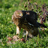 Hawk 61