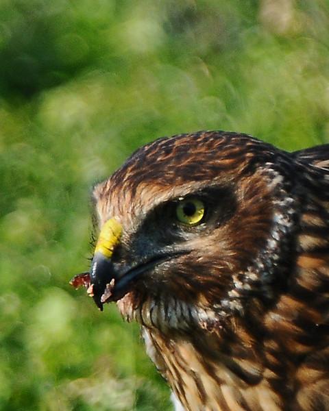 Hawk 92
