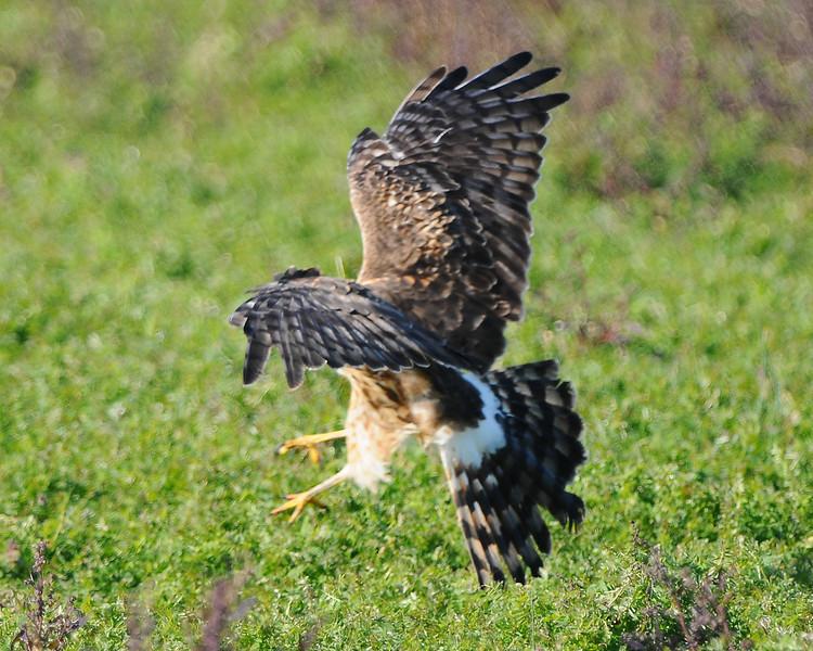 Hawk 84