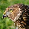 Hawk 63