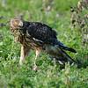 Hawk 34