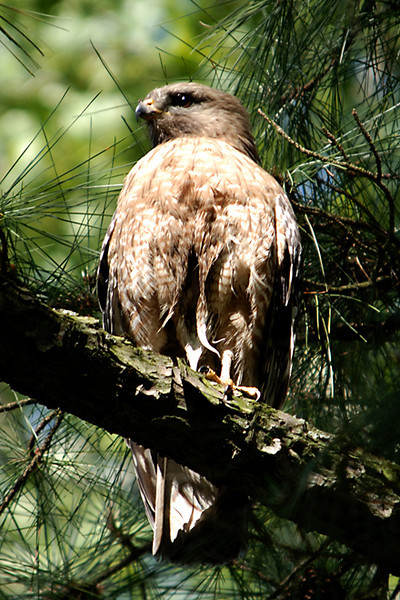 Hawk 24