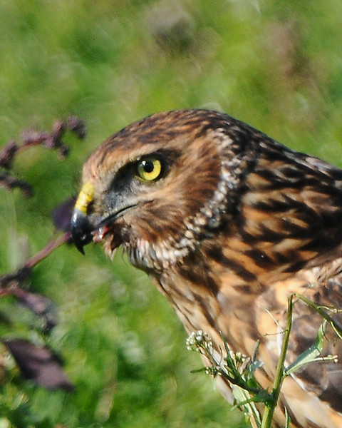 Hawk 46