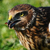 Hawk 89