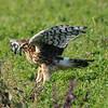 Hawk 83