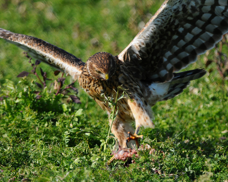 Hawk 42