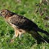 Hawk 36