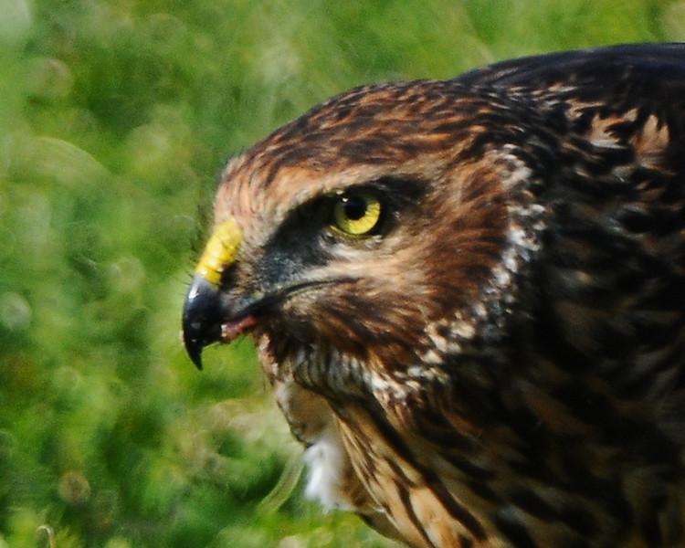 Hawk 70
